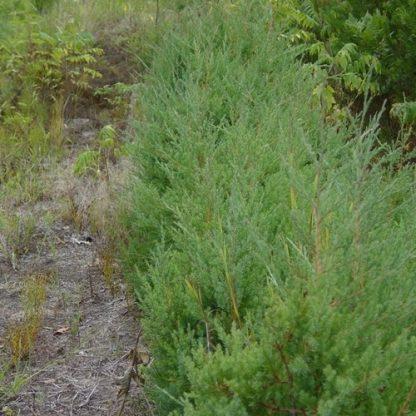 An eastern red cedar.