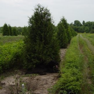 A white cedar native arborvitae thuja occidentalis