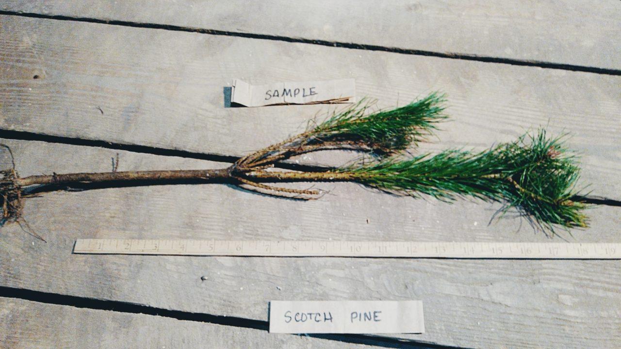 "Pinus Sylvestris Saplings 2-3/"" tall 50 Scots Pine"