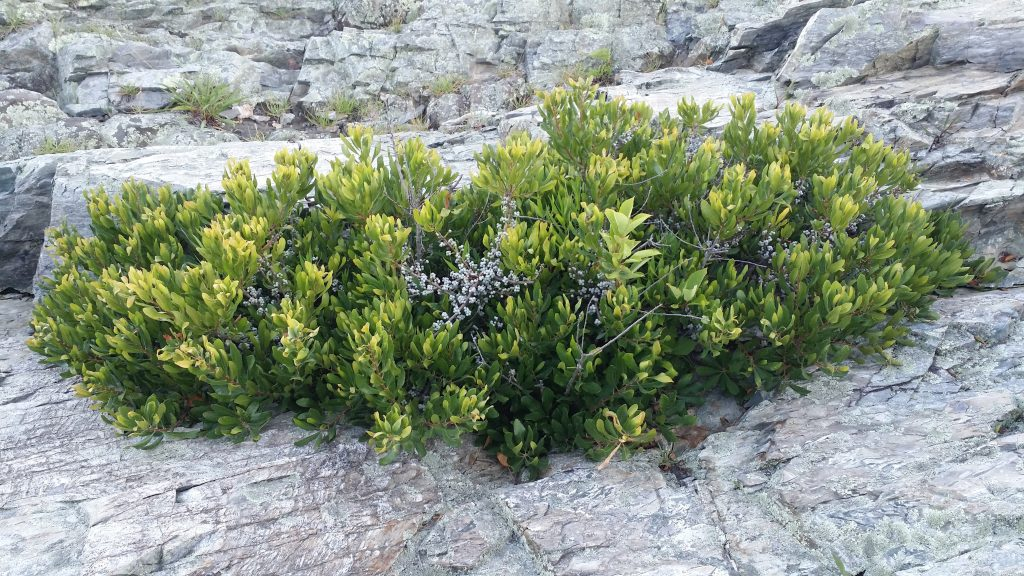 Northern Bayberry Myrica Pensylvanica Shrubs Cold