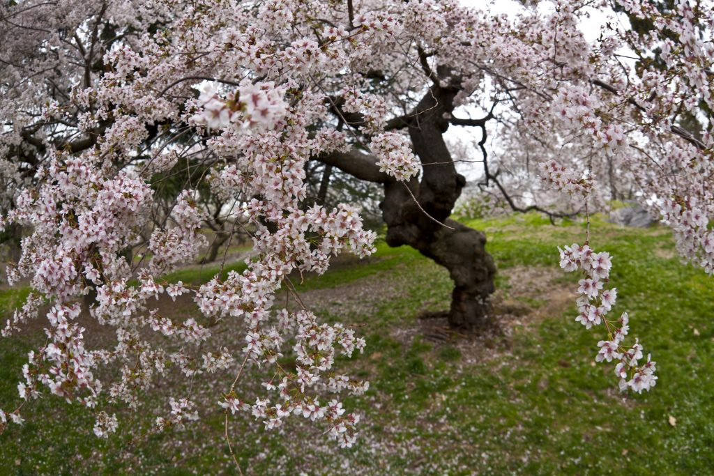 Sweet American Crabapple Garland Crab Trees For Sale