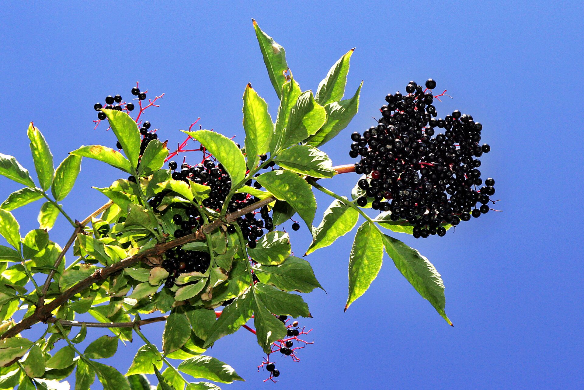 Elderberry Bushes Pictures