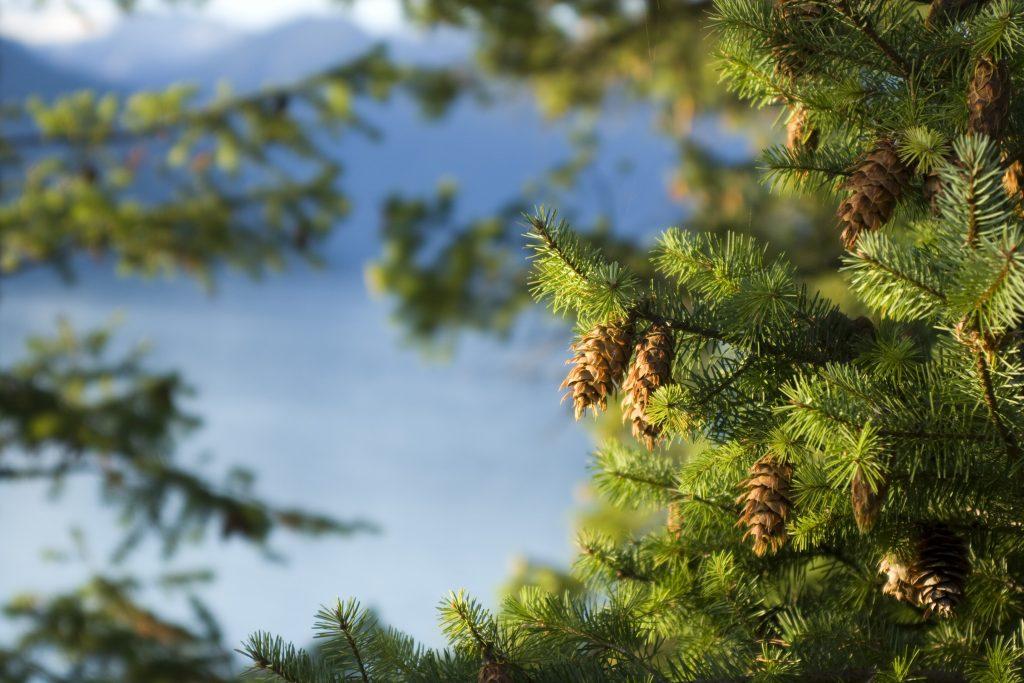 Douglas Fir Tree Oregon Pine Trees For Sale