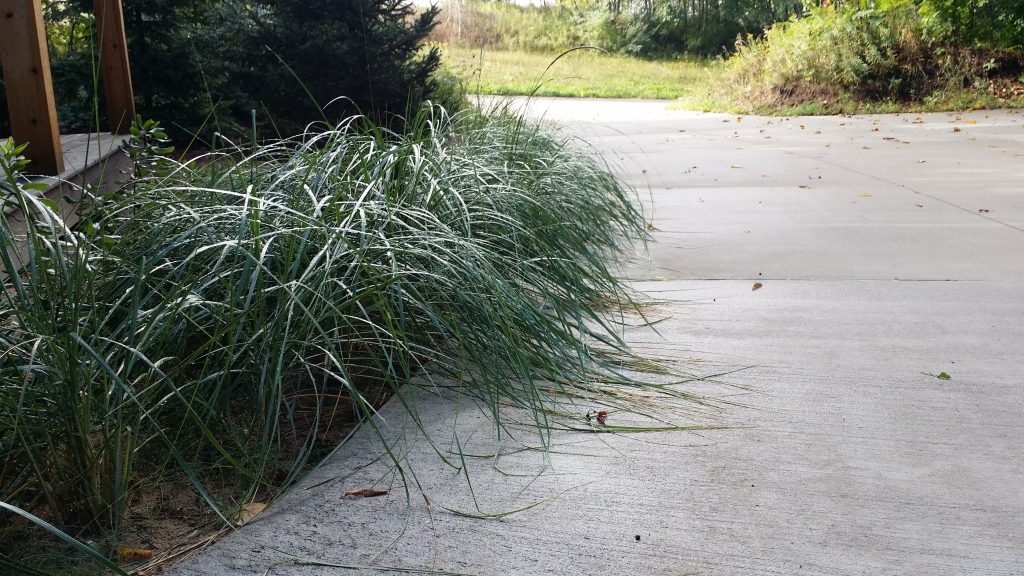 American Beachgrass Ammophila Breviligulata Cold