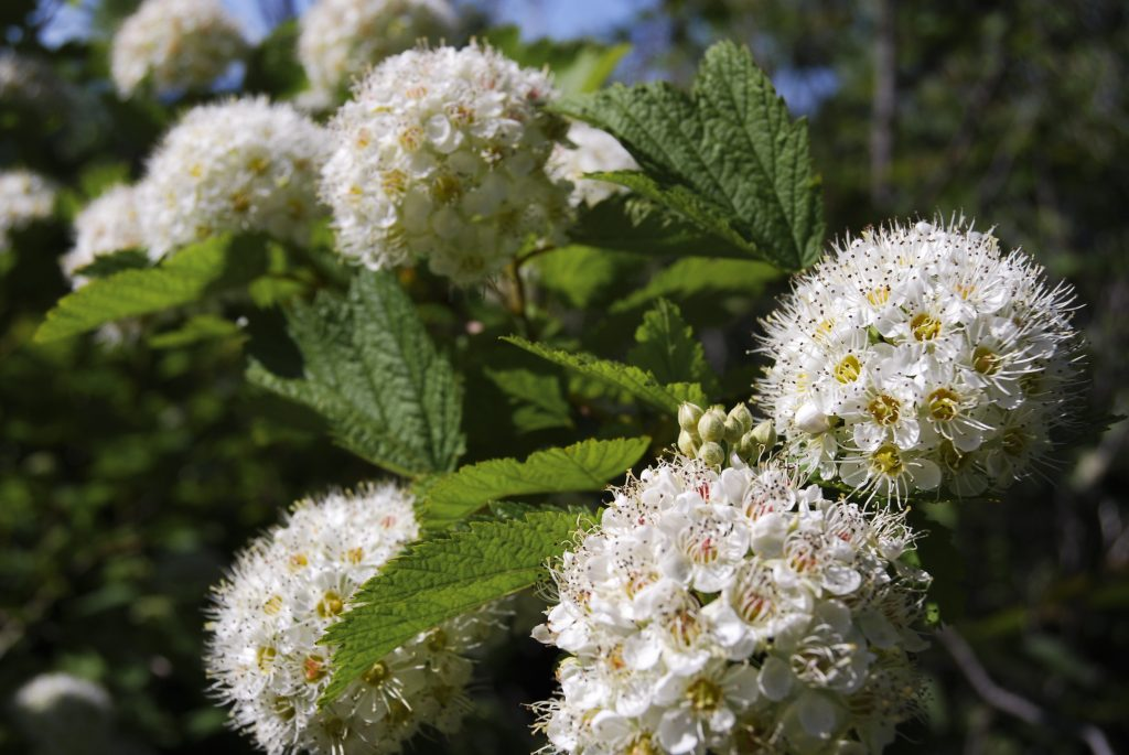 Common Ninebark Shrubs For Sale