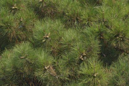 An Austrian Pine