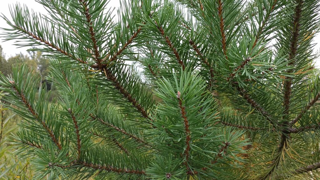 Scotch Pine Trees Amp Bare Root Seedlings For Sale