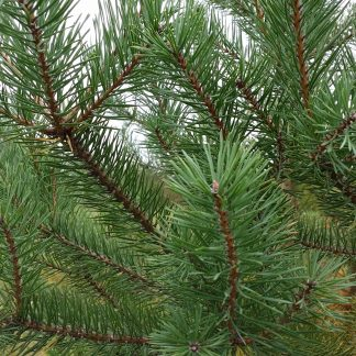 Scotch Pine branches