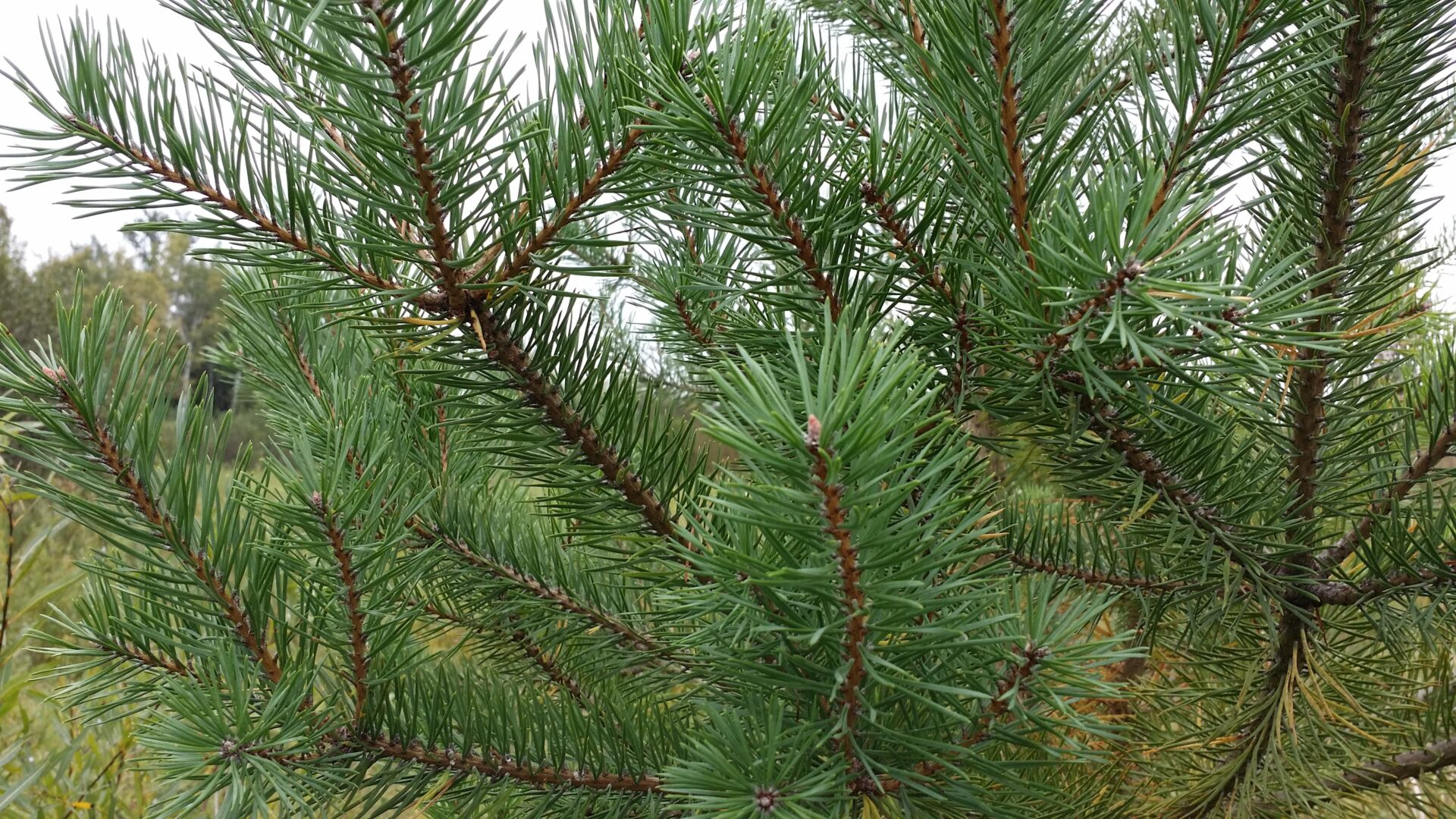 Scotch Pine Trees & Bare Root Seedlings for Sale