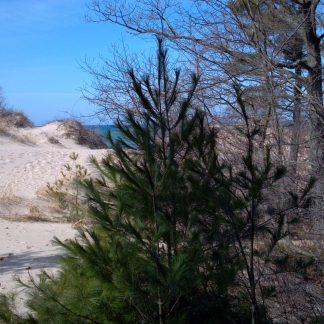A white pine tree on a beach.