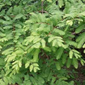 A young dawn redwood tree.