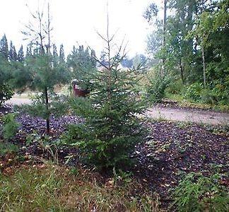 A black hills spruce tree.