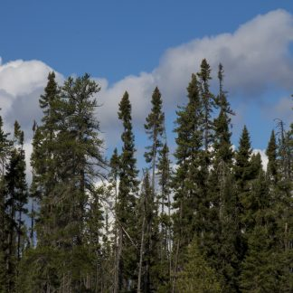 A group of black spruce trees.