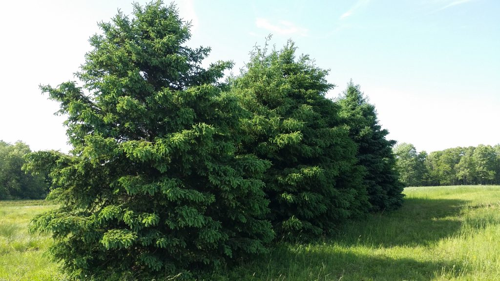 Colorado Blue Spruce Conifer Trees For Sale Transplants