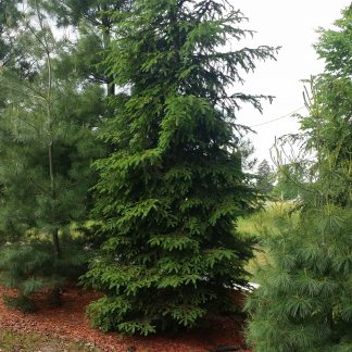 A white spruce tree.