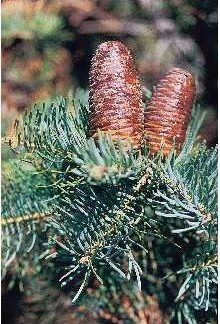 White Fir needles and cones