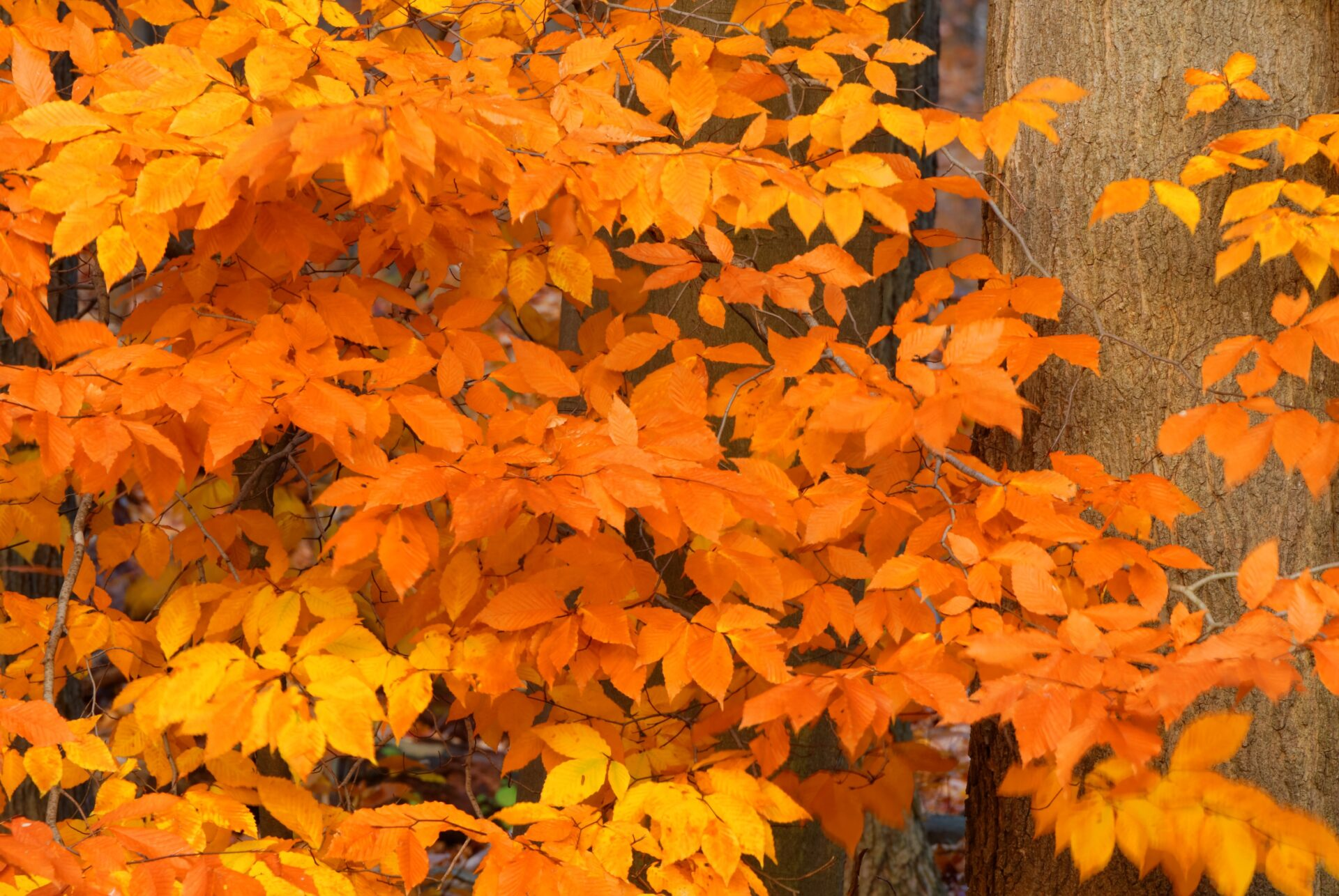 American Beech Trees | Buy Online at Nature Hills Nursery