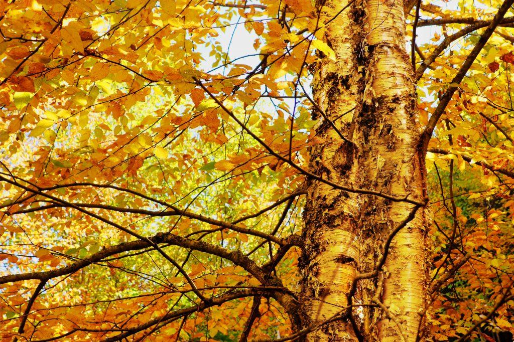 Yellow Birch Betula Allegheniensis Deciduous Trees
