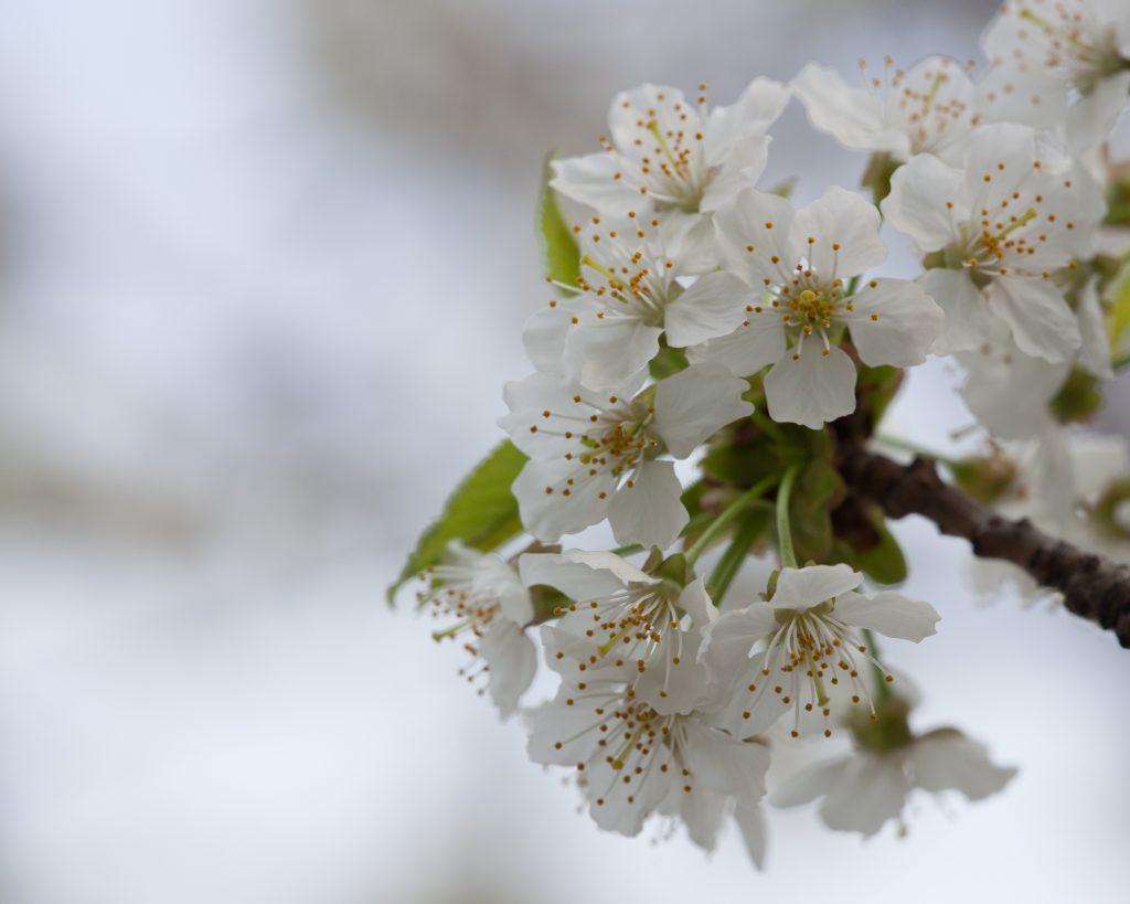 Wild Black Cherry Prunus Serotina Deciduous Trees