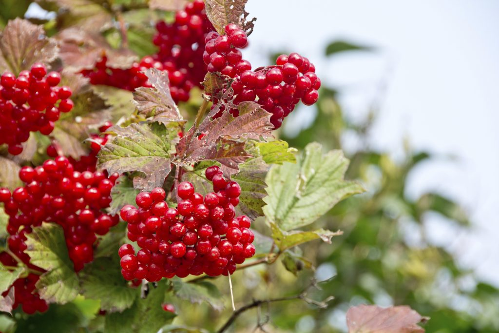 Highbush Cranberry American Cranberrybush Shrubs For Sale