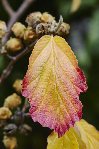Witch Hazel Leaf Turning