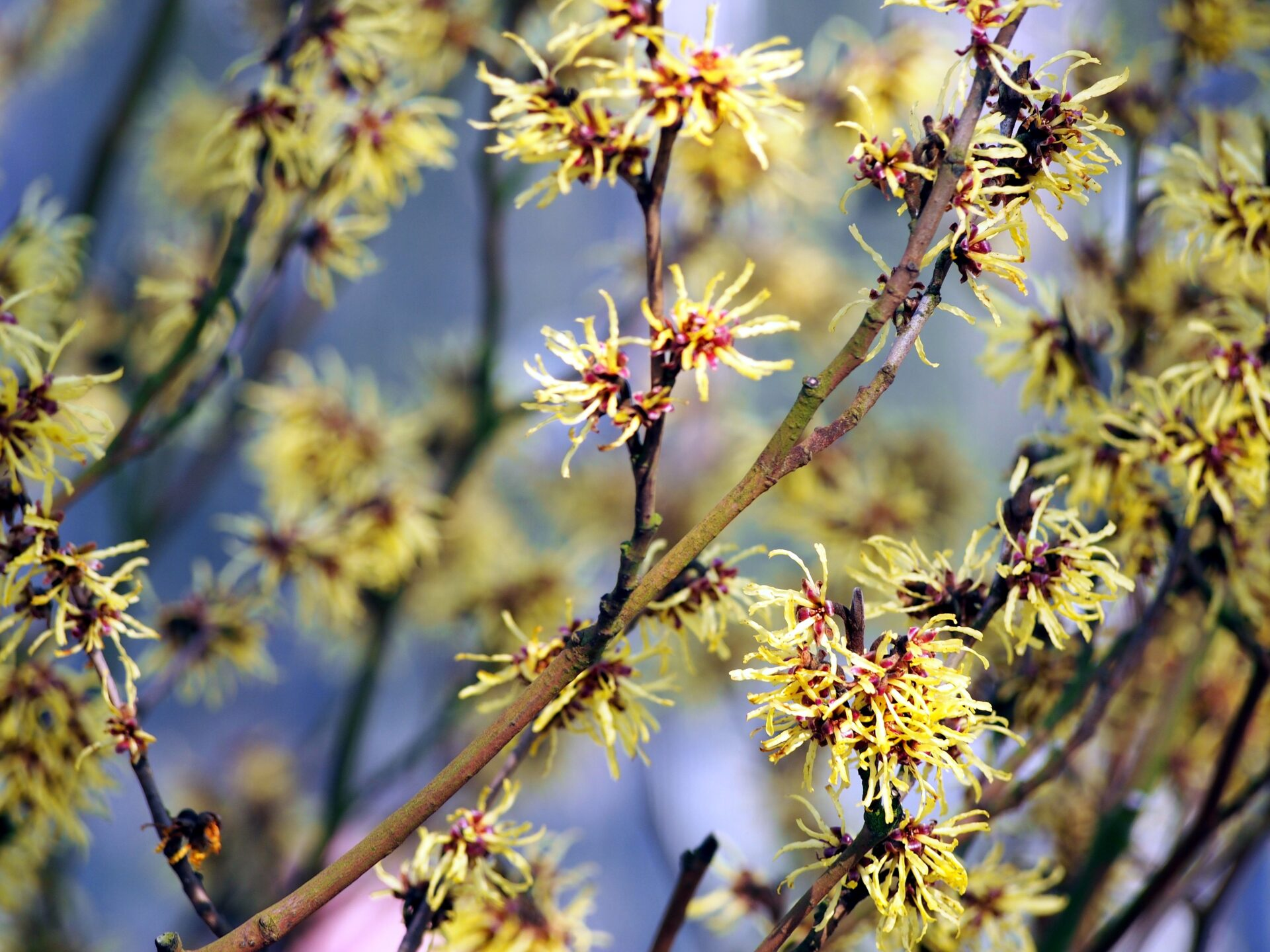 Witch Hazel Hamamelis Virginiana Shrubs Cold Stream Farm