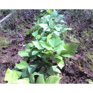 shagbark hickory leaves Carya ovata