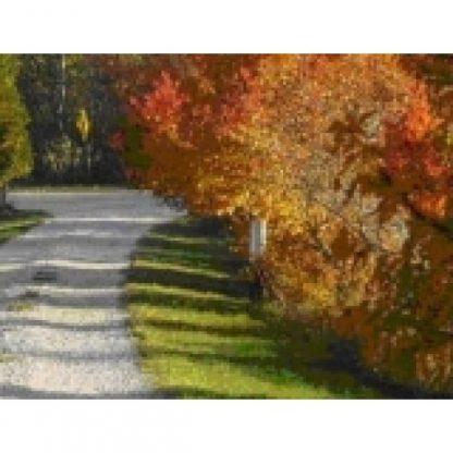Amur Maple Trees Along Road