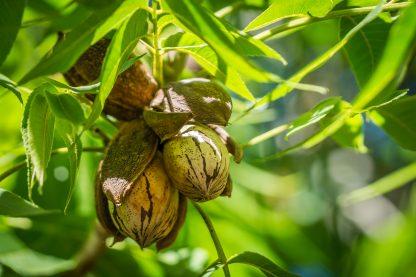 Pecan Nut Cluster