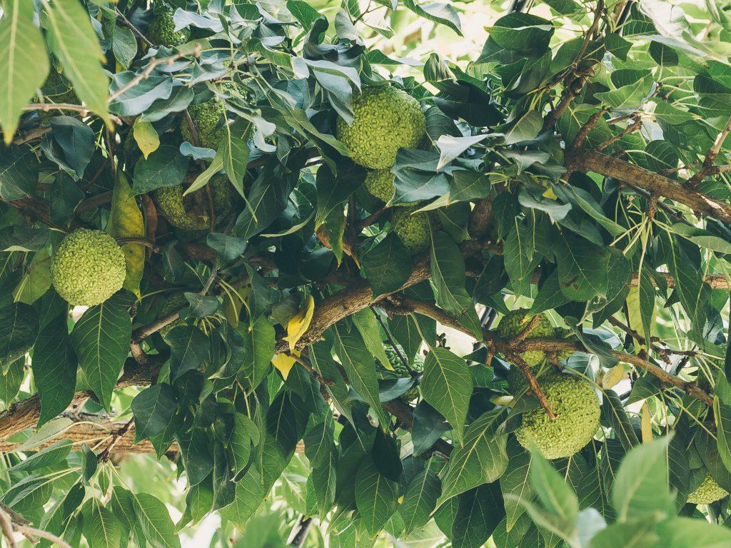 Osage Orange Maclura Pomifera Deciduous Trees Cold