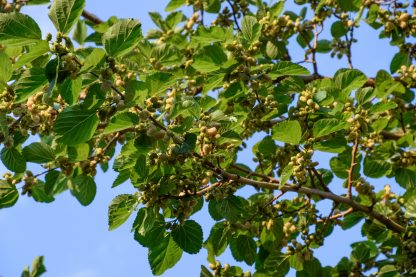 Fruit of a White/Russian Mulberry Tree