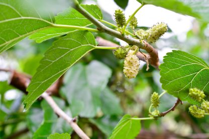 Leaves of a White Mulberry Tree