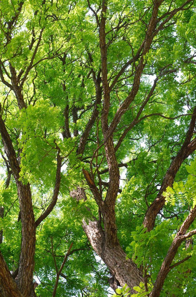 Kentucky Coffeetree Gymnocladus Dioicus Deciduous