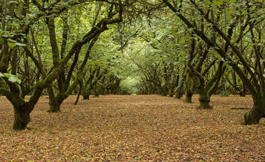 American Hazelnut Corylus Americana Deciduous Trees