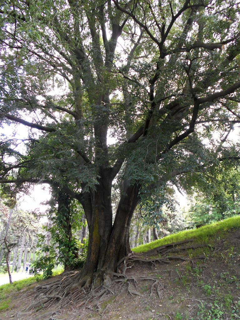 Common Hackberry Celtis Occidentalis Deciduous Trees