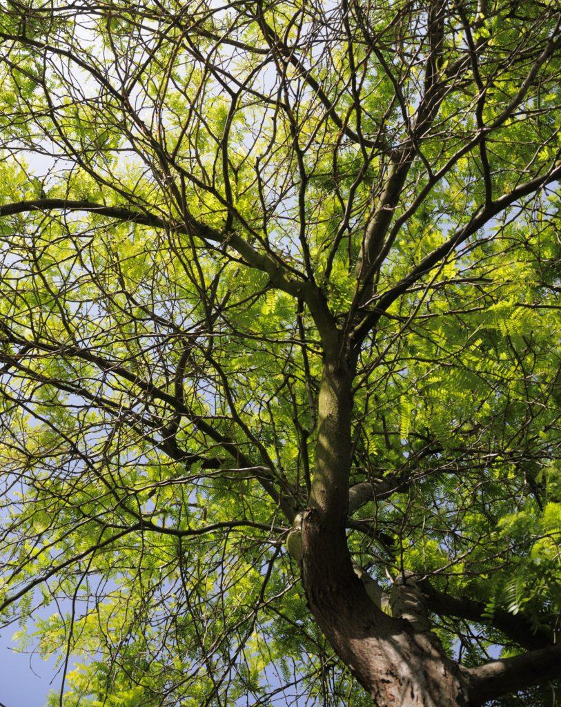 Thornless Honeylocust Deciduious Trees Cold Stream Farm
