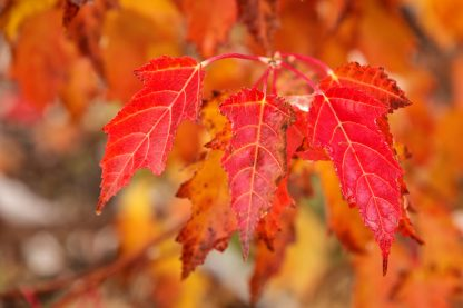 Close Up of Red Amur Leaves