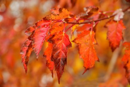 Amur Maple leaves up Close