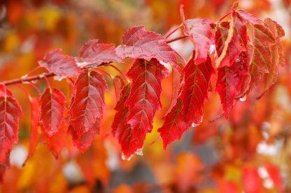 Amur Maple Leaves
