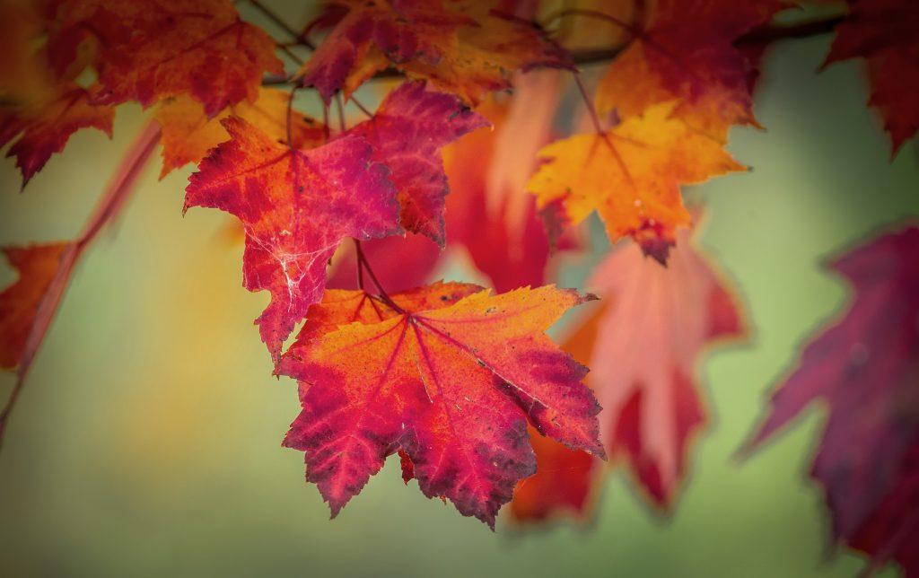Red Maple Trees For Sale Seedlings Amp Transplants
