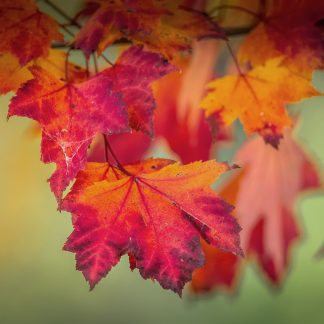Maple Red fall foliage
