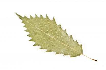 Leaf of a Chinquapin Oak