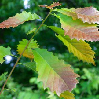 Chinquapin Oak Leaves