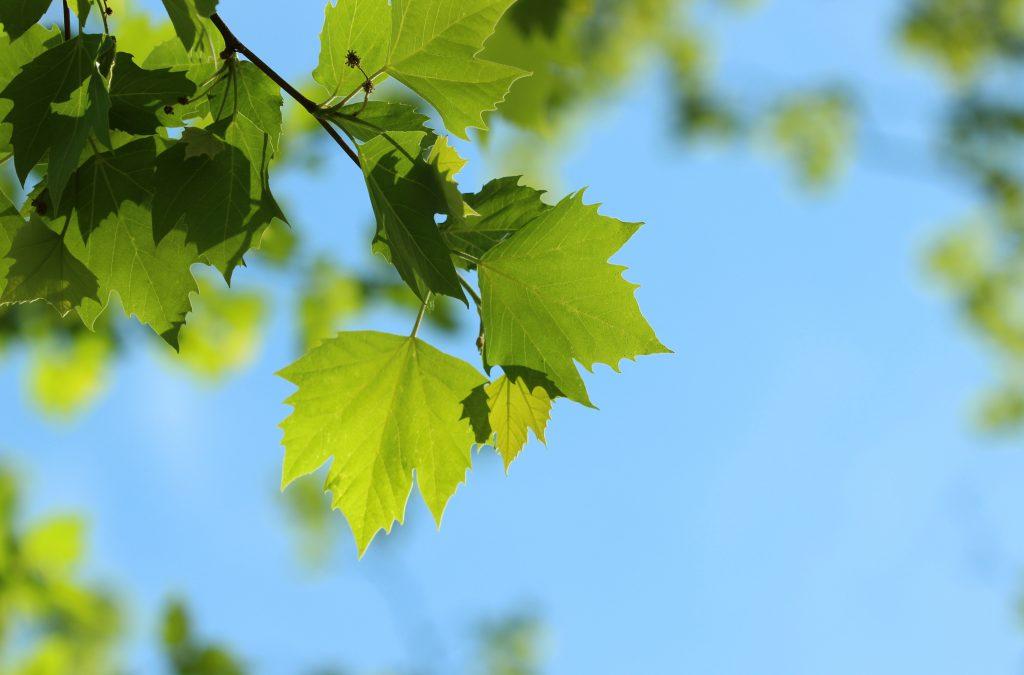 Sycamore Platanus Occidentalis Deciduous Trees Cold