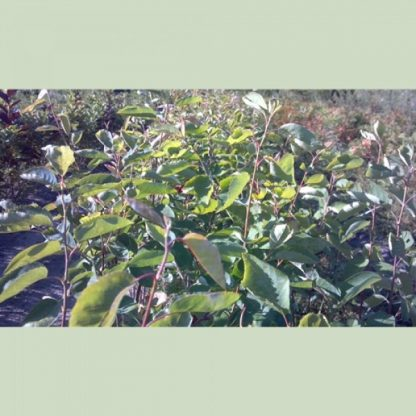 Allegheny Serviceberry Leaves