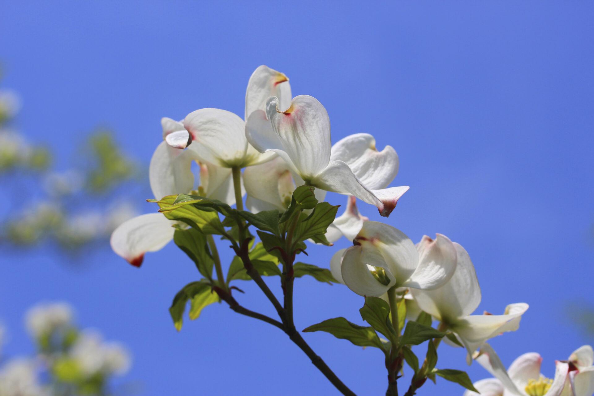 Flowering White Dogwoods Wholesale Shrubs