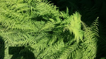 Christmas Fern up close cluster