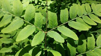 Royal Fern leaves