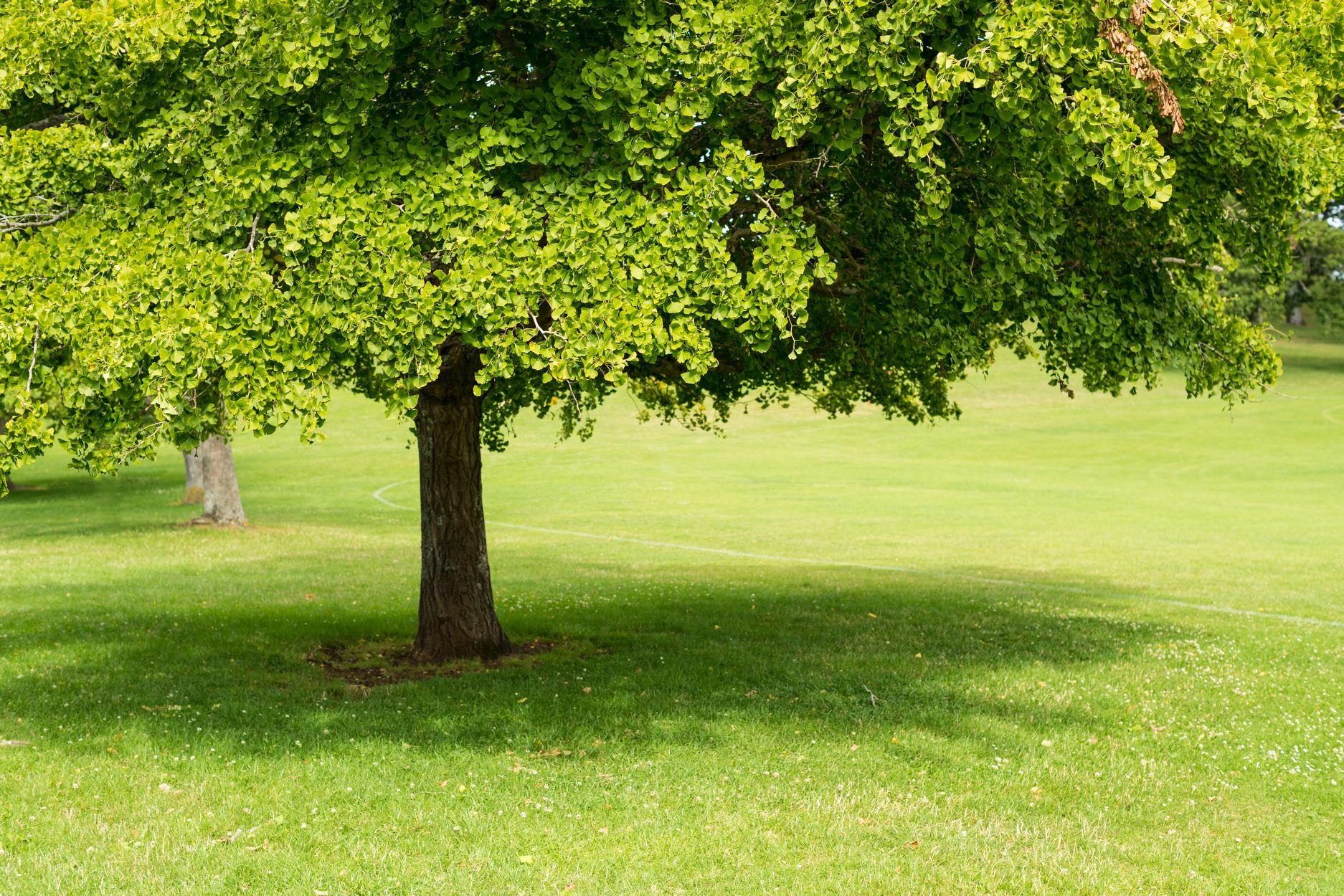 Ginkgo Ginkgo Biloba Deciduous Trees Cold Stream Farm