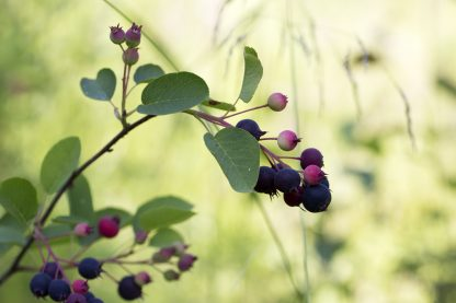 Allegheny Serviceberry Berries